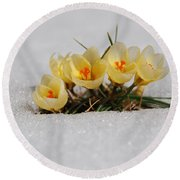 Yellow Crocus In The Snow Round Beach Towel