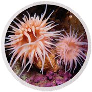 Sea Anemones In Admiralty Inlet Round Beach Towel