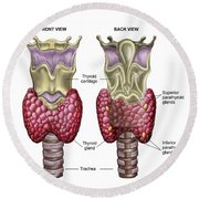 Anatomy Of Thyroid Gland With Larynx & Round Beach Towel