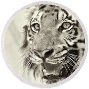 Angry Face Of Royal Bengal Tiger, Panthera Tigris, India Round Beach Towel