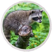 Round Beach Towel featuring the photograph Baby Racoon by Paul Freidlund