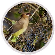 Cedar Waxwing Eating Berries Round Beach Towel by Karen Jorstad