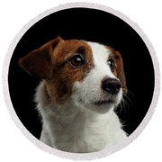 Closeup Portrait Of Jack Russell Terrier Dog On Black Round Beach Towel