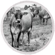 Dairy Cow On A Farm In Stowe Vermont Round Beach Towel