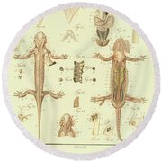 Round Beach Towel featuring the drawing Fire Salamander Anatomy by Christian Leopold Mueller