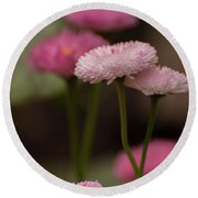 Round Beach Towel featuring the photograph Habanera English Daisy by Brenda Jacobs