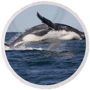 Humpback Whale Calf Breaching Round Beach Towel