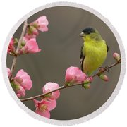 Round Beach Towel featuring the photograph Lesser Goldfinch by Doug Herr