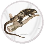 Round Beach Towel featuring the drawing Mexican Spiny-tailed Iguana, Ctenosaura Pectinata by Elsasser