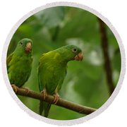 Orange -chinned Parakeets  Round Beach Towel
