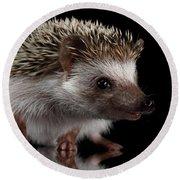 Prickly Hedgehog Isolated On Black Background Round Beach Towel by Sergey Taran