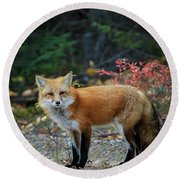 Round Beach Towel featuring the photograph Red Fox by Gary Hall