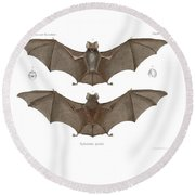 Round Beach Towel featuring the drawing Sundevall's Roundleaf Bat by A Andorff
