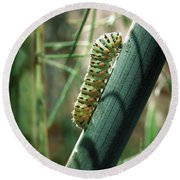 Round Beach Towel featuring the photograph Swallowtail Caterpillar by Meir Ezrachi