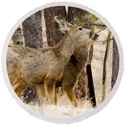 Mule Deer In The Pike National Forest Of Colorado Round Beach Towel