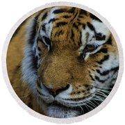 Amur Tiger Round Beach Towel