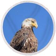 Bald Eagle Juvenile Perched Round Beach Towel