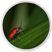 Scarlet Lily Beetle Sitting On A Green Leaf Round Beach Towel