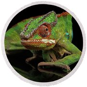 Sneaking Panther Chameleon, Reptile With Colorful Body On Black Mirror, Isolated Background Round Beach Towel by Sergey Taran
