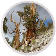 Bristlecone Pine Tree 2 Round Beach Towel