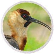 Buff-necked Ibis Theristicus Caudatus Round Beach Towel