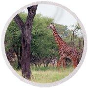 Giraffes Eating Acacia Trees Round Beach Towel