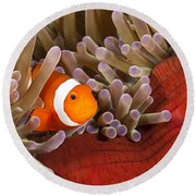 Clown Anemonefish Round Beach Towel