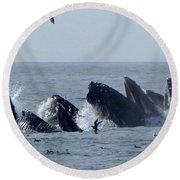 5 Humpbacks Lunge Feeding  Round Beach Towel