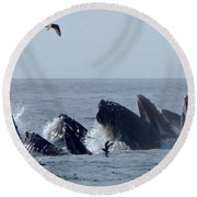 5 Humpbacks Lunge Feeding  Round Beach Towel