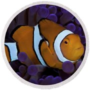 False Ocellaris Clownfish In Its Host Round Beach Towel