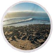 Cape Fur Seals Arctocephalus Pusillus Round Beach Towel