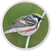 Chestnut-sided Warbler Round Beach Towel by Alan Lenk