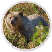 A  Female Grizzly Bear Looking Alertly At The Camera. Round Beach Towel