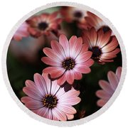African Daisy Zion Red Round Beach Towel