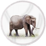 African Elephant Grazing - Isolated On White Round Beach Towel