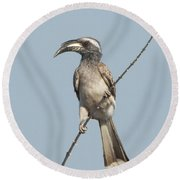 African Grey Hornbill Tockus Nasutus Round Beach Towel by Panoramic Images