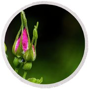 Round Beach Towel featuring the photograph Alberta Rose Buds by Darcy Michaelchuk