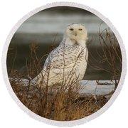 Alert Snowy Owl Round Beach Towel
