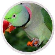 Alexandrine Parrot Feeding Round Beach Towel