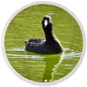 American Coot Portrait Round Beach Towel