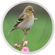 Round Beach Towel featuring the photograph American Goldfinch by Doug Herr