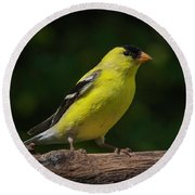 American Goldfinch Male Round Beach Towel