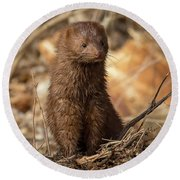 American Mink At Johnson Park Round Beach Towel