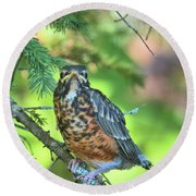 Round Beach Towel featuring the photograph American Robin Fledgling by Debbie Stahre