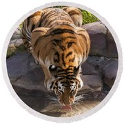 Amur Tiger Drinking Round Beach Towel