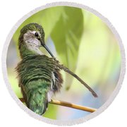 Anna's Hummingbird - Preening Round Beach Towel
