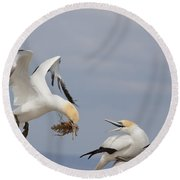 Australasian Gannet With Nesting Material Round Beach Towel