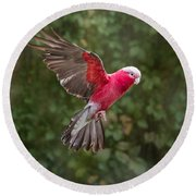 Australian Galah Parrot In Flight Round Beach Towel