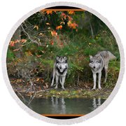 Autumn Wolf Study  Round Beach Towel