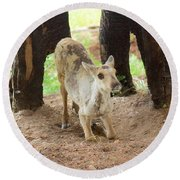 Round Beach Towel featuring the photograph Baby Caribou Rising by Sean Griffin